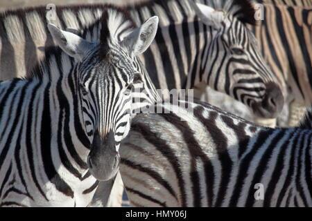 Zebra portrait in Etosha, Namibia - Stock Photo