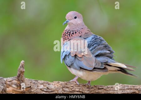 Laughing dove (Spilopelia senegalensis), adult perched on a branch, Kruger National Park, South Africa, Africa - Stock Photo