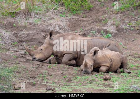 White rhinoceroses (Ceratotherium simum), mother with calf, early in the morning, Kruger National Park, South Africa, - Stock Photo