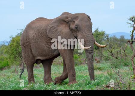 African bush elephant (Loxodonta africana), bull, foraging, Kruger National Park, South Africa, Africa - Stock Photo