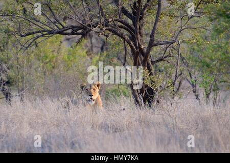 Lioness (Panthera leo), resting, in high grass, early morning, Kruger National Park, South Africa, Africa - Stock Photo