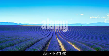Lavender flower blooming scented fields in endless rows. Panoramic view. Valensole plateau, Provence, france, europe.