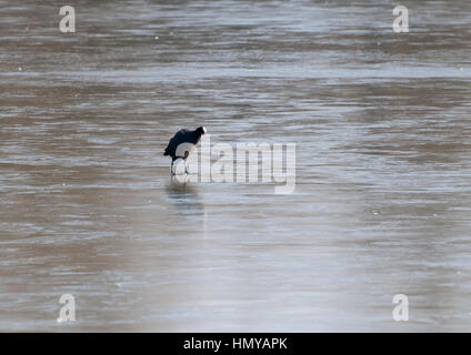 Coots fighting and skating on a frozen lake in the northeast of the UK early on a morning when a small portion of - Stock Photo