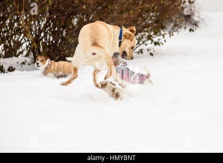 Small underdog dog wins fight with big hound - Stock Photo