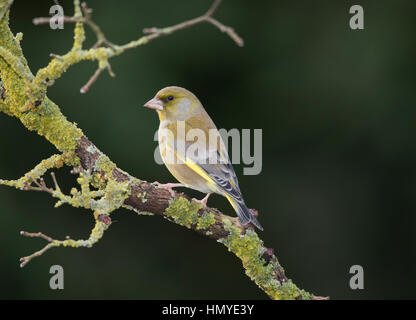 Greenfinch (Carduelis chloris) on lichen covered branch - Stock Photo