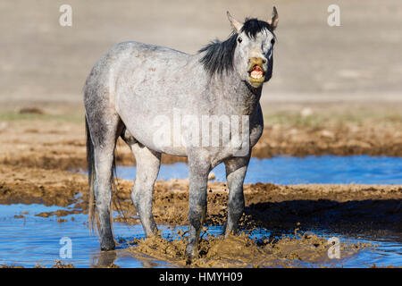 Stock Photo : Gray Wild Mustang playing in mud (Equus ferus caballus), West Desert, Utah, USA, North America - Stock Photo