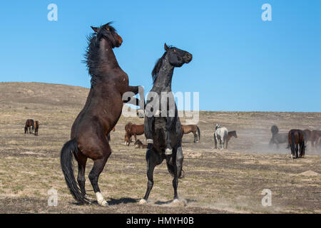 Stock Photo : Two Wild Mustangs Fighting (Equus ferus caballus) West Desert, Utah, USA, North America - Stock Photo