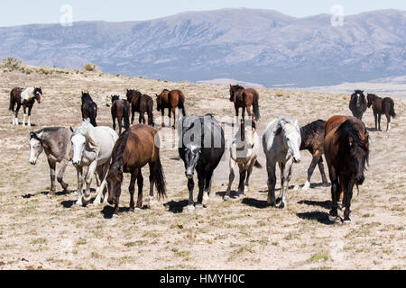Stock Photo : Wild Horses (Equus ferus caballus) in West Desert outside of Salt Lake City, Utah, USA, North America - Stock Photo