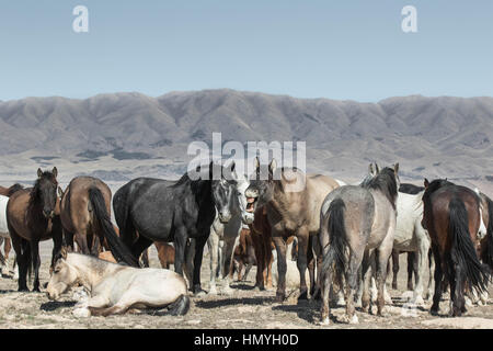 Stock Photo : Laughing Stock of the Wild Mustang Herd (Equus ferus caballus) in West Desert outside of Salt Lake - Stock Photo