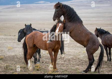 Stock Photo : Wild Horse in a head lock  (Equus ferus caballus) in the West Desert, Utah, USA, North America - Stock Photo