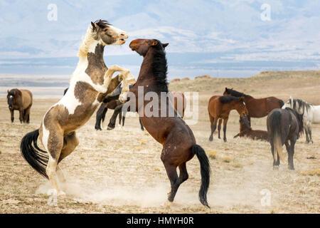 Stock Two Sparring Wild Mustangs (Equus ferus caballus) in West Desert, Utah, USA, North America - Stock Photo
