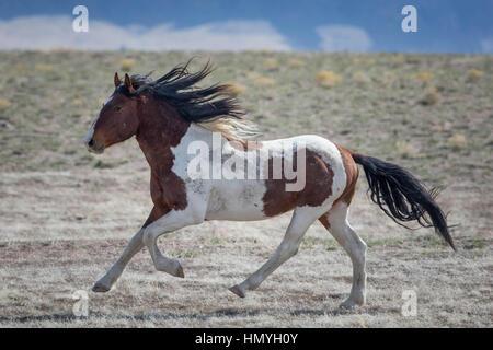 Stock Brown and White Paint Horse Galloping (Equus ferus caballus), Wild Horse of West Desert, Utah, USA, North - Stock Photo