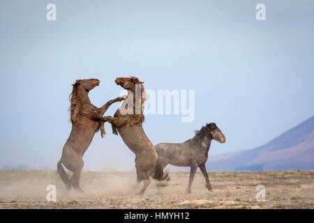 Stock Photo Wild Horses Sparring (equus ferus) in West Desert, Utah, USA, North America - Stock Photo