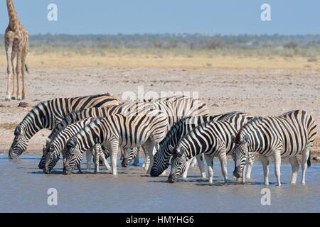 Herd of Burchell's zebras (Equus quagga burchellii), drinking in a waterhole, Namibian giraffe behind, Etosha National - Stock Photo