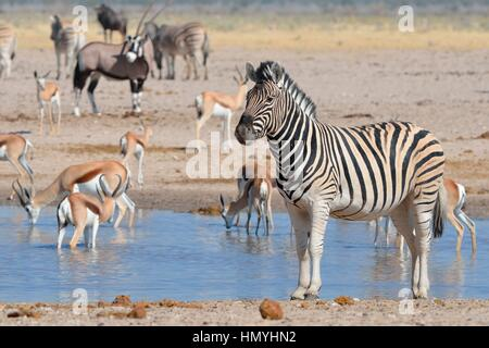 Burchell's zebra (Equus quagga burchellii) and springboks drinking at a waterhole, gemsbok behind, Etosha National - Stock Photo