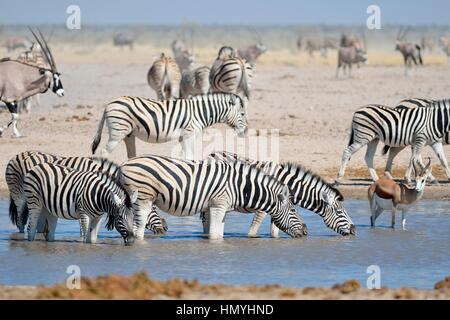 Burchell's zebras (Equus quagga burchellii) with a springbok (Antidorcas marsupialis), drinking in a waterhole, - Stock Photo
