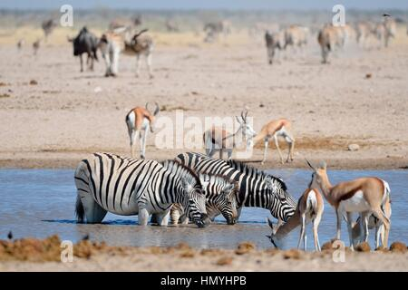 Three Burchell's zebras (Equus quagga burchellii), two adults and one foal drinking in a waterhole, Etosha National - Stock Photo