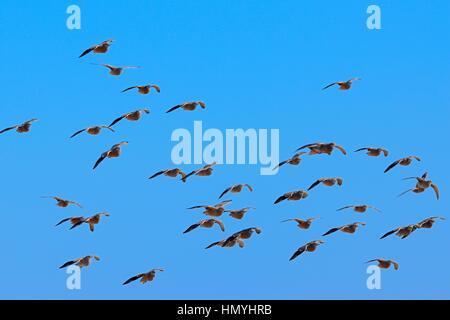 Namaqua sandgrouses (Pterocles namaqua), flock of birds in flight, Etosha National Park, Namibia, Africa - Stock Photo
