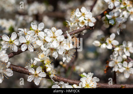 Bee collects pollen from white flower on  flowering tree in spring. - Stock Photo