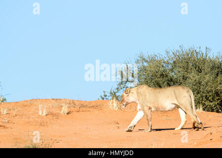 Lion on red sand dune in Kgalagadi National Park, South Africa. - Stock Photo