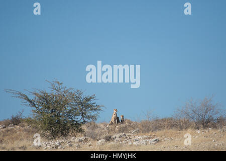 Cheetah Hunting with cubs - Stock Photo