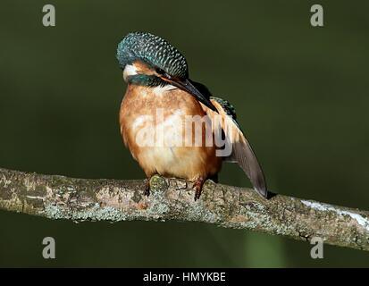 Preening European Kingfisher (Alcedo Atthis) posing on a branch