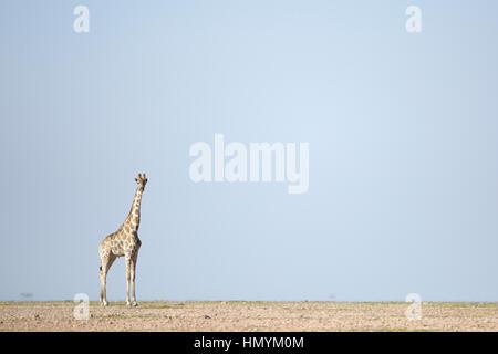 A Giraffe stands in the Namib Desert - Stock Photo