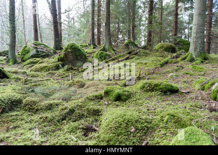 Untouched old mossy forest with rocks and tree trunks - Stock Photo