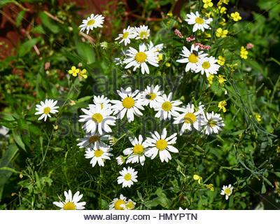 Ox-eye daisies Leucanthemum vulgare in a wildflower meadow - Stock Photo