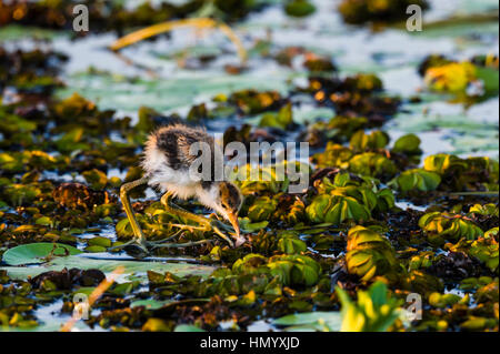 A male Comb-crested Jacana feeding on water lilies with his chicks. - Stock Photo