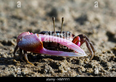 The bright pink claw of a male Fiddler Crab used for defense on a tidal flat. - Stock Photo