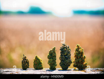 Detail of assorted dried cannabis buds in a line over natural landscape - medical marijuana concept background - Stock Photo