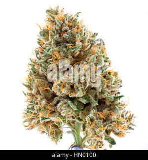 Detail of dried cannabis flower (mangolope strain) isolated over white background - Stock Photo