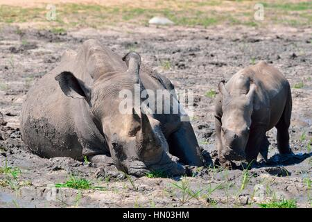 White rhinoceroses or Square-lipped rhinoceroses (Ceratotherium simum), mother with calf in the mud, Kruger National - Stock Photo