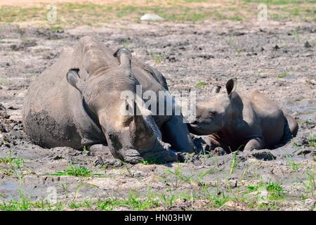 White rhinoceroses (Ceratotherium simum), mother with calf wallowing in the mud, Kruger National Park, South Africa, - Stock Photo