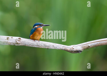 young natural common kingfisher (Alcedo atthis) sitting on branch - Stock Photo