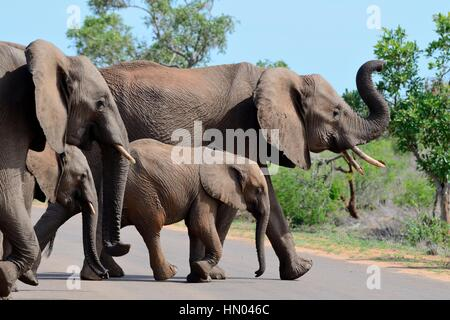 African bush elephants (Loxodonta africana), two adult females with two young crossing a paved road, Kruger National - Stock Photo