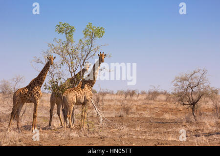 Three giraffes in Kruger National Park in South Africa. - Stock Photo