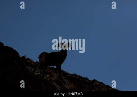 Rocky Mountain Bighorn Sheep Ram Silhouette (ovis canadensis) in Green River, Utah, USA, North America - Stock Photo