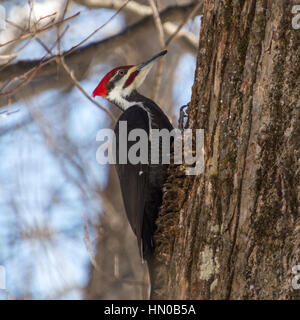 Pileated woodpecker bird on an old tree trunk in wintertime. Bright sunshine and blue sky background light up his - Stock Photo