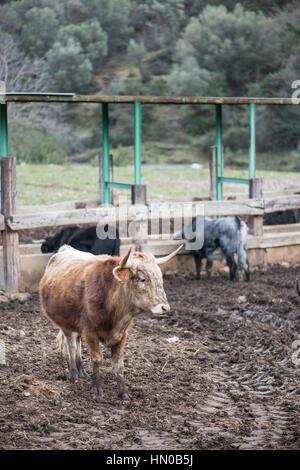 Wild bulls on Spanish farm in rural province - Stock Photo