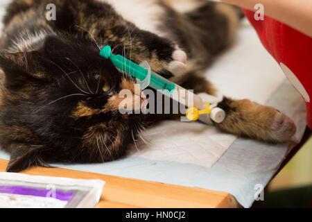 Veterinariya.Sterilizatsiya cats. Cat asleep under anesthesia with a syringe stuck in catheters. - Stock Photo