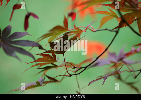 Acer Palmatum Bloodgood - gorgeous autumn colours  Jane Ann Butler Photography  JABP1835 - Stock Photo