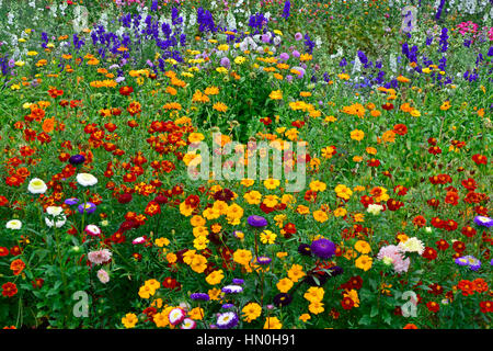 Colourful flower meadow of mixed planting including Delphiniums, Larkspur, Lavatera, Calendula, in a cottage garden - Stock Photo