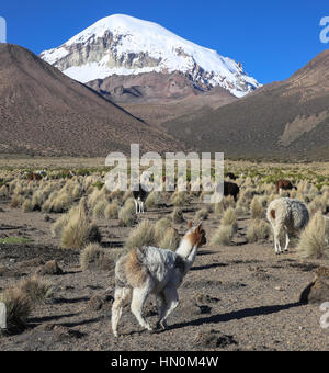 The Andean landscape with herd of llamas, with the Sajama volcano on background. Sajama National Park is a national - Stock Photo