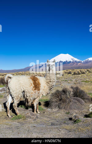 The Andean landscape with herd of llamas, with the Parinacota volcano on background. Sajama National Park is a national - Stock Photo