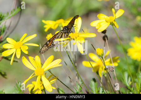 Monarch butterfly on yellow daisy flowers - Stock Photo