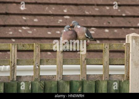 Wood pigeons (columba palumbus) on a garden fence in the UK - Stock Photo