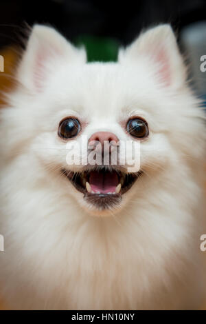 Close up shot of a white pomeranian dog - Stock Photo