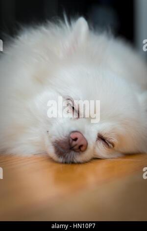 Close up shot of a white pomeranian dog sleeping - Stock Photo
